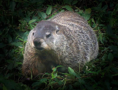 Photograph - Groundhog 1 by Pete Trenholm