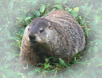 Photograph - Groundhog 2 by Pete Trenholm