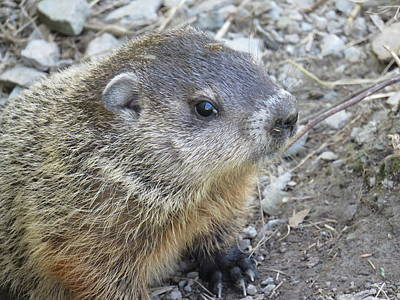 Photograph - Groundhog Baby by Lucinda VanVleck