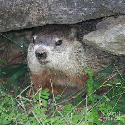 Photograph - Groundhog Hiding In His Cave by John Telfer
