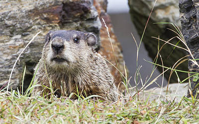 Photograph - Groundhog by Natalie Rotman Cote