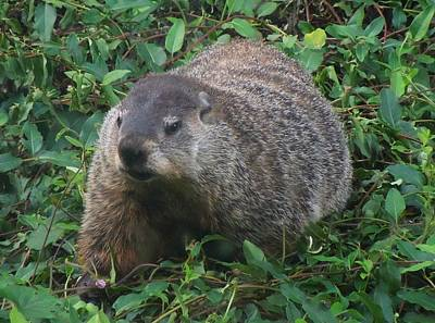 Photograph - Groundhog by Pete Trenholm