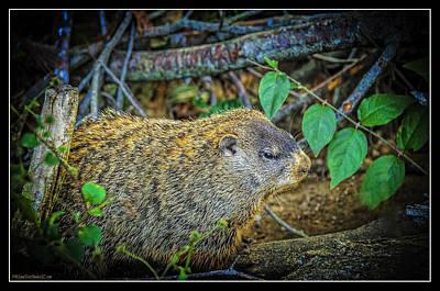 Groundhog Photograph - Groundhogs Day by LeeAnn McLaneGoetz McLaneGoetzStudioLLCcom