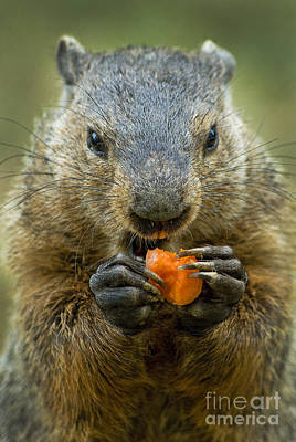 Groundhog Wall Art - Photograph - Groundhogs Favorite Snack by Paul W Faust -  Impressions of Light