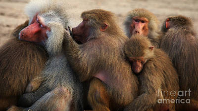Photograph - Group Baboons Close Together by Nick  Biemans