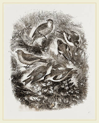 Finch Drawing - Group F Finches by Litz Collection