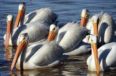 Group Of American White Pelicans Art Print