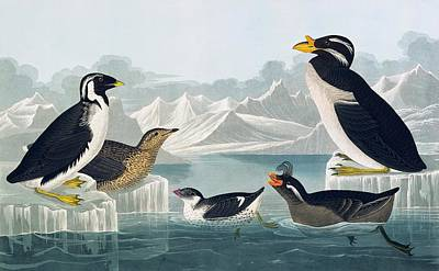 Group Of Auks And Auklets Art Print