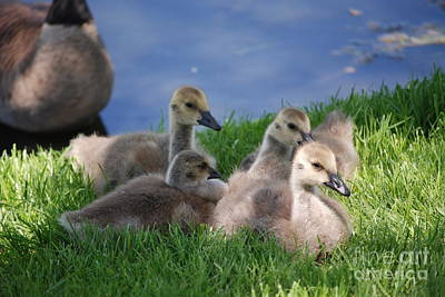 Photograph - Group Of Baby Geese by Mark McReynolds