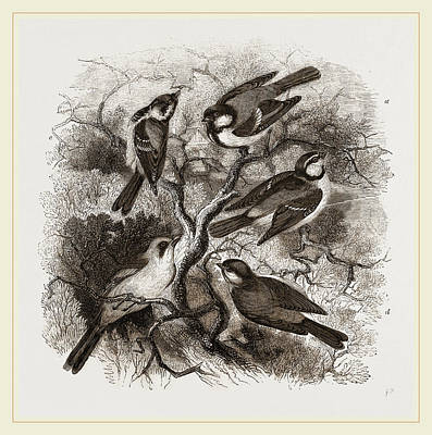 Titmouse Drawing - Group Of British Titmice by Litz Collection