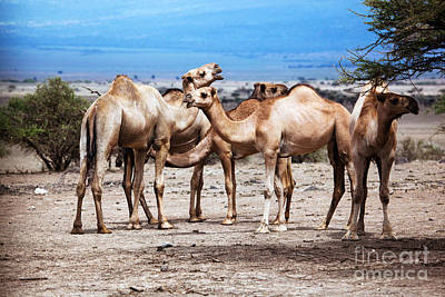 Traveling Photograph - Group Of Camels In Africa by Michal Bednarek