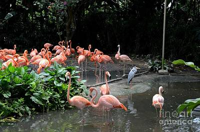 Photograph - Group Of Flamingos And Lone Heron In Water by Imran Ahmed