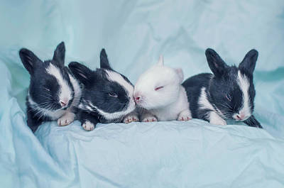 Group Of Four Newborn Baby Bunnies Art Print by Ashraful Arefin Photography