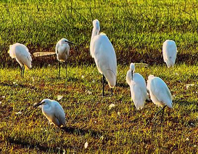 Great White Egrets Digital Art - Group Of Great White Egrets by Chris Flees