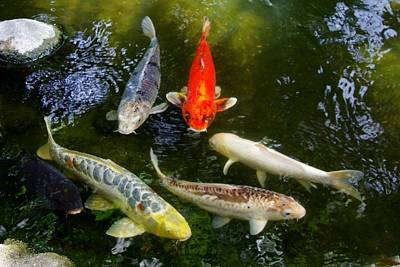 Photograph - Group Of Koi 2 by Phyllis Spoor