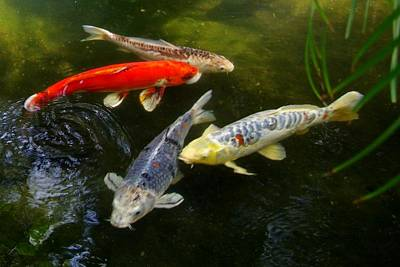 Photograph - Group Of Koi by Phyllis Spoor