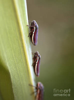 Group Of Leafhopper Bugs On A Blade Of Grass Art Print