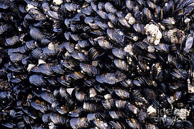 Group Of Mussels Close Up Art Print