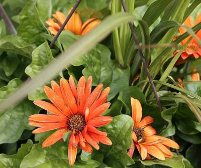 Photograph - Group Of Orange Daisys by Kimber  Butler