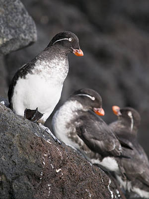 Auklets Photograph - Group Of Parakeet Auklets, St. Paul by John Gibbens