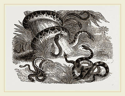 Terrestrial Drawing - Group Of Terrestrial Snakes by Litz Collection