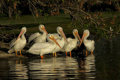 Photograph - Group Of White Pelicans by Diana Haronis