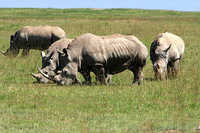 Photograph - Group Of White Rhino by Aidan Moran