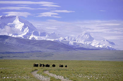 Yak Photograph - Group Of Yaks Walk Across A Green by Beth Wald
