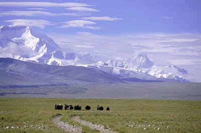 Yak Photograph - Group Of Yaks Walk Across A Green by Beth Wald