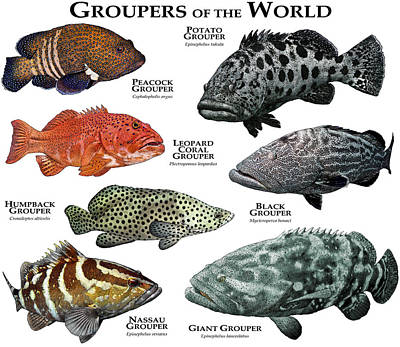Peacock Grouper Wall Art - Photograph - Groupers Of The World by Roger Hall