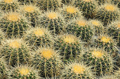 Photograph - Grouping Of Echinocactus Grusonii Or Golden Barrel Cactus by Rob Huntley