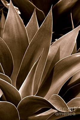 Agave Photograph - Growing by Clare Bevan