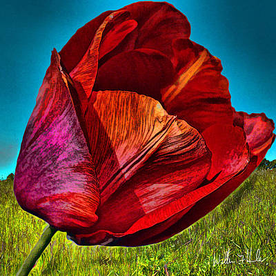 Photograph - Growing Red Tulip by William Havle