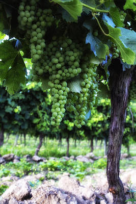 Grape Vine Photograph - Growing Season by Georgia Fowler