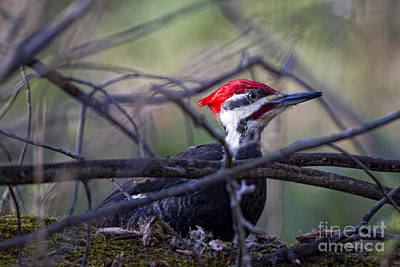 Photograph - Grubin' Pecker by Ronald Lutz