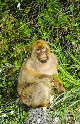 Photograph - Grumpy Barbary Ape by Deborah Smolinske