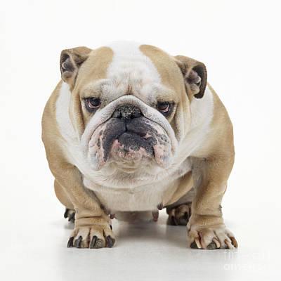 Grumpy Bulldog Art Print by John Daniels