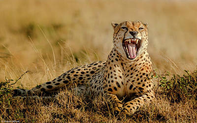 Cheetah Photograph - Grumpy Morning by Husain Alfraid