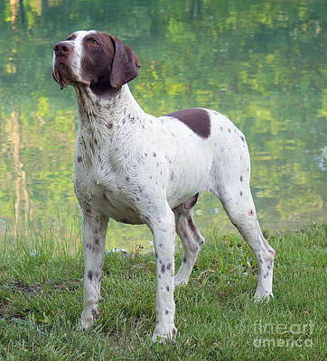 Photograph - Gsp Dog by Rachel Munoz Striggow