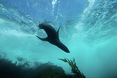 Photograph - Guadalupe Fur Seal, Islas San Benito by Morten Beier
