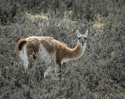 Photograph - Guanaco by Alan Toepfer
