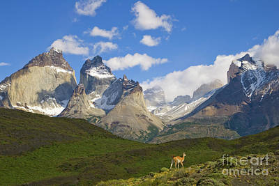Mountain Photograph - Guanaco And Cuernos Del Paine Peaks by Yva Momatiuk John Eastcott