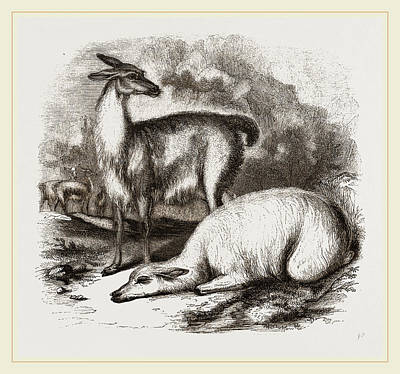 Llama Drawing - Guanaco And Tame White Llama by Litz Collection