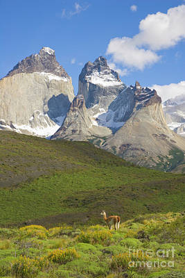 Photograph - Guanaco And Cuernos Del Paine by Yva Momatiuk John Eastcott