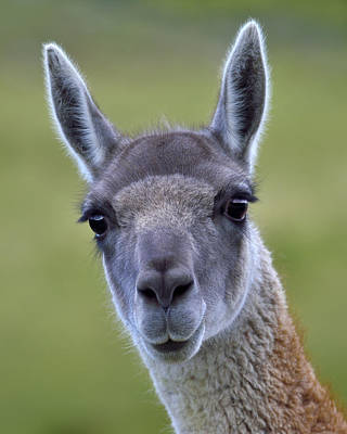 Photograph - Guanaco by Tony Beck