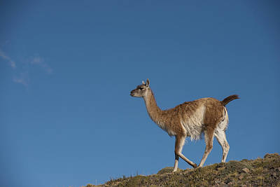 Lama Photograph - Guanaco Torres Del Paine Np Patagonia by Pete Oxford