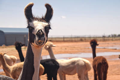 New Attitudes Photograph - Guard Llama by Melany Sarafis