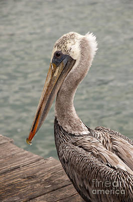 Photograph - Guardian Pelican by Brenda Kean