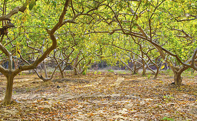 Guava Tree Photograph - Guava Garden In Autumn by Image World