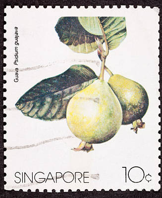 Tropical Stamps Photograph - Guavas Psidium Guajava  by Jim Pruitt
